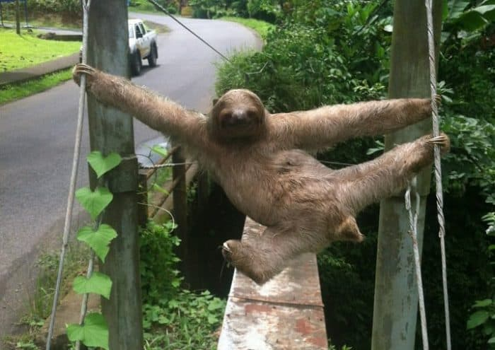 Slothy Sunday: At home in the water – The Tico Times | Costa Rica News | Travel | Real Estate